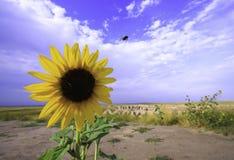 Солнцецвет и голубое небо Стоковые Изображения RF