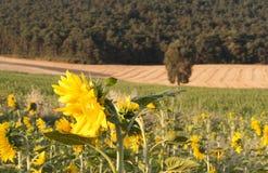 Солнцецвет и дерево Стоковые Фото