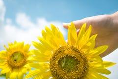 Солнцецвет и женская рука Стоковые Фото