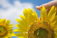 Солнцецвет и женская рука Стоковое Изображение