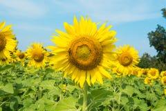 Солнцецвет и красивое в утре Стоковая Фотография RF