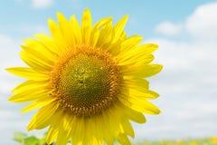 Солнцецвет и небо Стоковые Фото