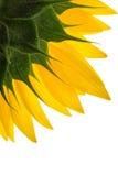 Солнцецвет и падения на лепестках изолированных на белой предпосылке Стоковая Фотография RF