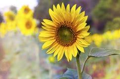 Солнцецвет и поле солнцецвета взрослые молодые Стоковые Фотографии RF
