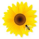 Солнцецвет и пчела изолированные на белой предпосылке Стоковая Фотография