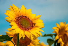 Солнцецвет и пчела Стоковая Фотография RF