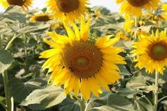 Солнцецвет и пчела Стоковое Фото