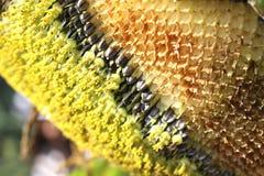 Солнцецвет и семена подсолнуха Стоковые Изображения RF
