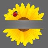 Солнцецвет и ladybird на серой предпосылке. Стоковые Фотографии RF