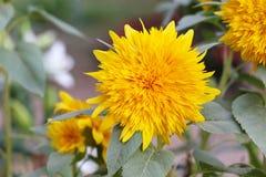 Солнцецвет карлика Стоковое Изображение RF