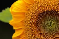 Солнцецвет Красивые солнцецветы зацветая на поле Стоковое Изображение RF
