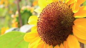 Солнцецвет крупного плана зацветая видеоматериал
