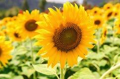 солнцецвет крупного плана поля в саде Стоковое Фото