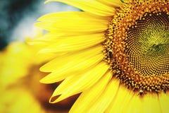 Солнцецвет крупного плана bigbloom Стоковое фото RF