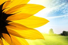 Солнцецвет над ландшафтом Стоковые Фото
