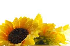 Солнцецвет на белой предпосылке. Стоковая Фотография