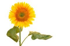 Солнцецвет на белой предпосылке Стоковые Фотографии RF