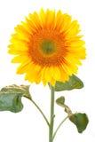Солнцецвет на белой предпосылке Стоковые Изображения