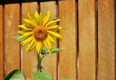Солнцецвет на деревянной предпосылке загородки Стоковая Фотография