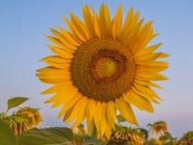 Солнцецвет на заходе солнца Стоковое Изображение RF