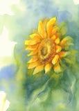 Солнцецвет на зеленой акварели предпосылки Стоковое Изображение