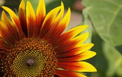 Солнцецвет на зеленом цвете выходит предпосылка Стоковое Изображение