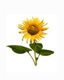 Солнцецвет на изолировано Стоковая Фотография RF