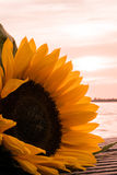 Солнцецвет на озере стоковые фотографии rf