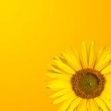 Предпосылка солнцецвета Стоковое фото RF