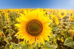 Солнцецвет на поле Стоковые Фото
