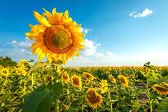 Солнцецвет на поле Стоковые Фотографии RF