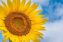Солнцецвет на предпосылке облаков и голубого неба Стоковое Изображение