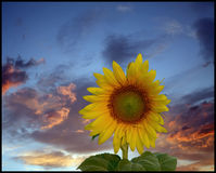Солнцецвет на драматическом небе Стоковая Фотография