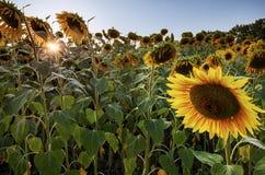 Солнцецвет на свете захода солнца Стоковое фото RF