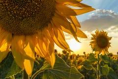 Солнцецвет на сумраке стоковое изображение rf