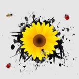 Солнцецвет на черной предпосылке. Стоковые Фотографии RF