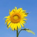 Солнцецвет над ярким солнечным светом Стоковая Фотография