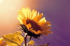 солнцецвет неба элемента конструкции предпосылки Стоковая Фотография