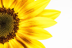 Солнцецвет орнамента Стоковое Фото