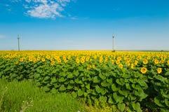 Солнцецвет от Болгарии Стоковое фото RF