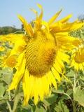 Солнцецвет от Lopburi, Таиланда Стоковое Изображение