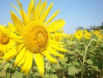 Солнцецвет от Lopburi Стоковое фото RF