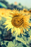 Солнцецвет одиночный цветка Стоковая Фотография RF