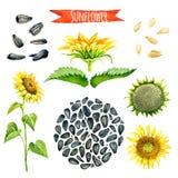 Солнцецвет, покрашенный вручную комплект акварели Стоковая Фотография