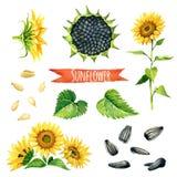 Солнцецвет, покрашенный вручную комплект акварели Стоковая Фотография RF