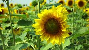 Солнцецвет пошатывая в ветре акции видеоматериалы