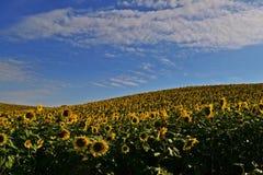 солнцецвет полей фермы дня малый солнечный стоковое фото