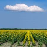 солнцецвет 2 полей Стоковая Фотография