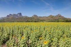 Солнцецвет полного цветения, предпосылка горы Стоковое Изображение RF