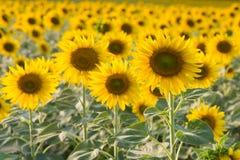 Солнцецвет полного цветения Стоковое Изображение RF
